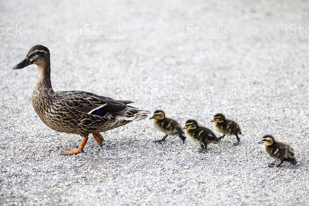 Family of ducks. stock photo