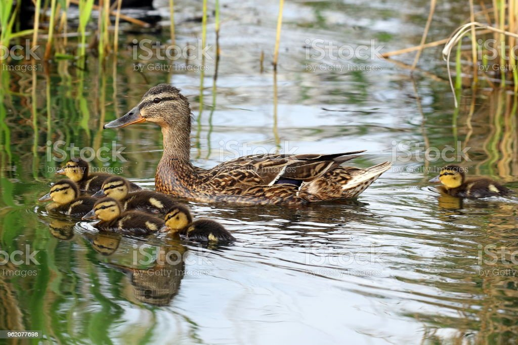 A family of ducks stock photo