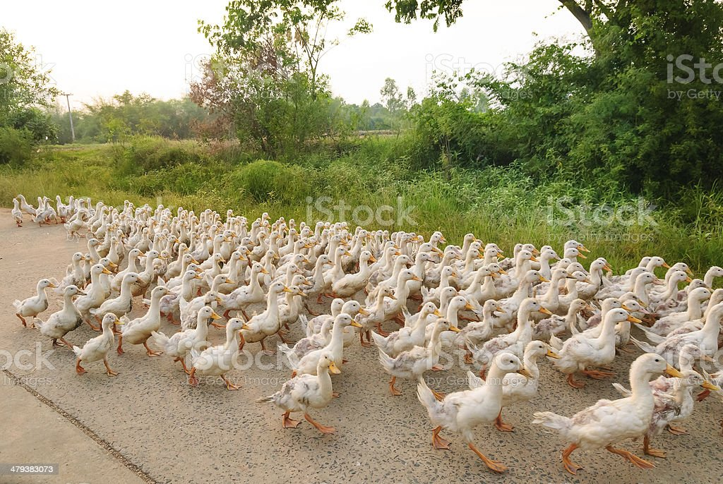 Family of ducks walking a straight line stock photo