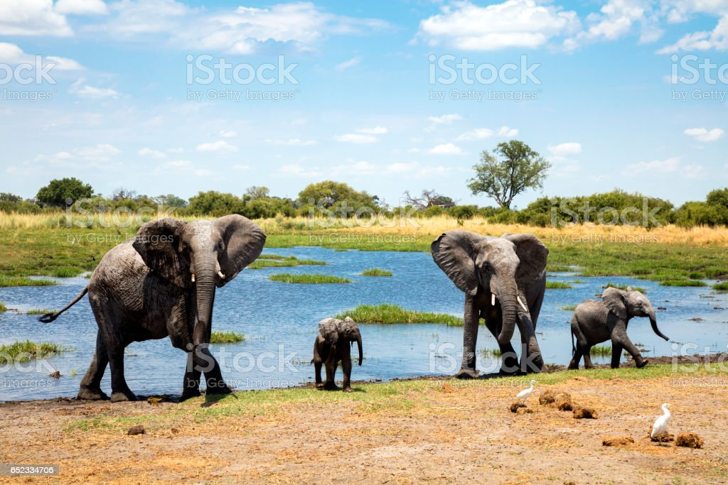 Family of elephants at waterhole stock photo