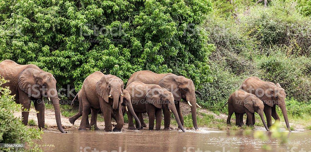 Family of Elephants drinking; natural pool, Chobe N.P., Botswana, Africa stock photo