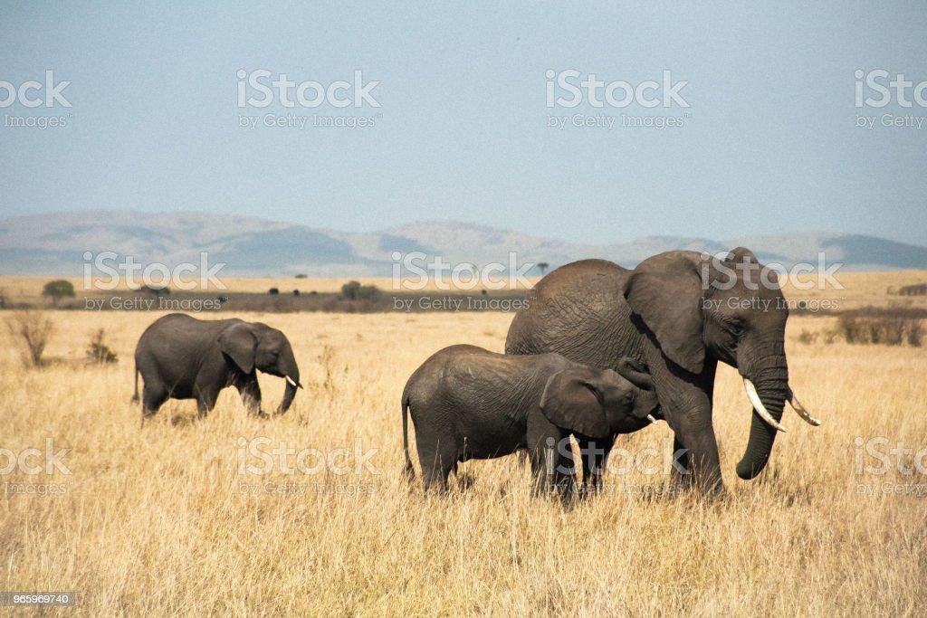 семья слонов в Масаи Мара - Стоковые фото Африканский слон роялти-фри