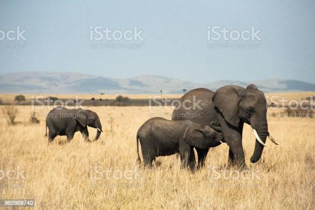 Семья Слонов В Масаи Мара — стоковые фотографии и другие картинки Африканский слон
