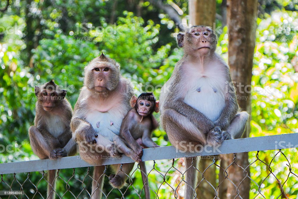 family of four monkeys stock photo