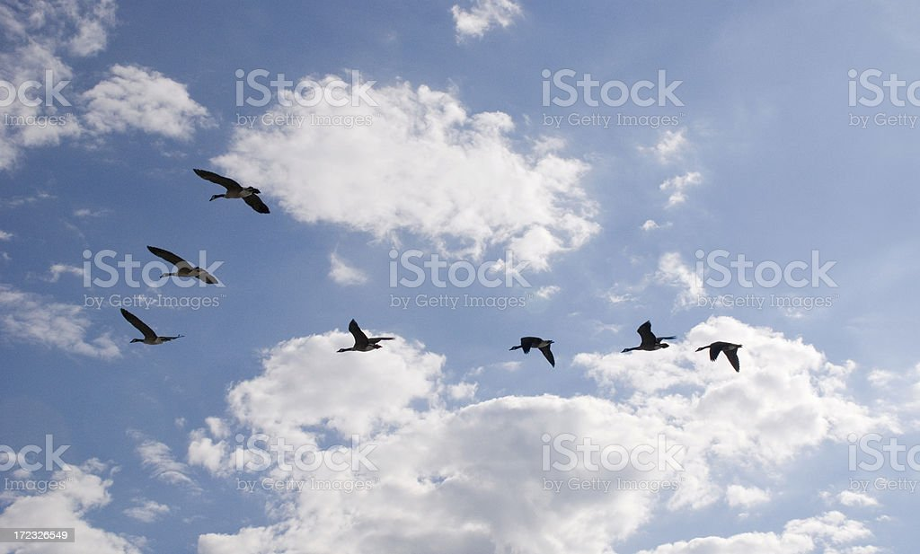 A family of geese flying in the blue sky in a V shape royalty-free stock photo
