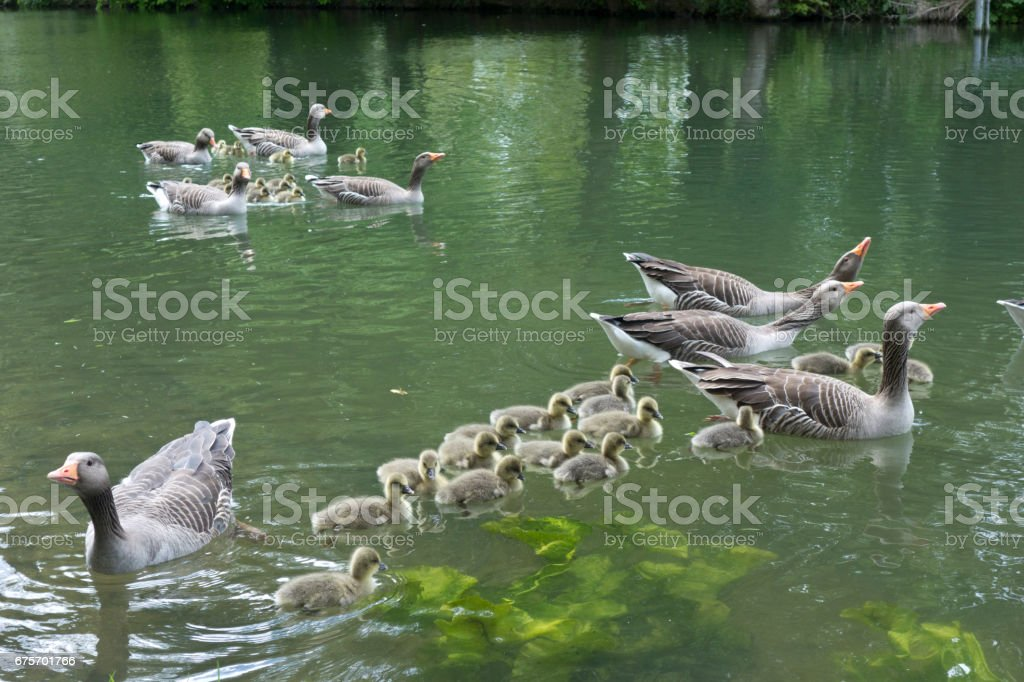 Family of Geese on Pond royalty-free stock photo