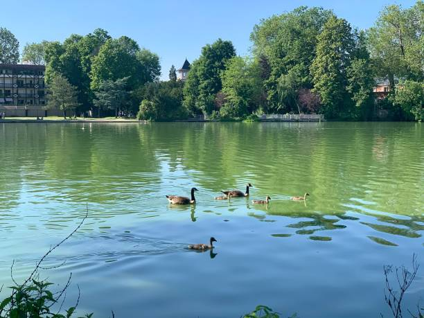 A family of geese swimming on the lake. stock photo