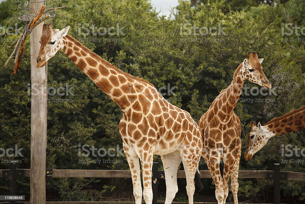 Family of Giraffe royalty-free stock photo