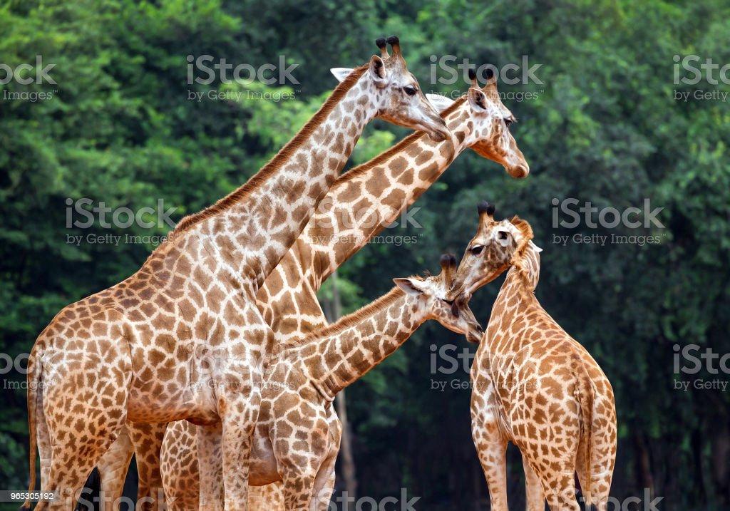 Family of giraffes in the zoo. zbiór zdjęć royalty-free