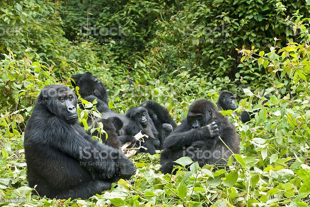 Family of gorillas in the trees in the Congo stock photo
