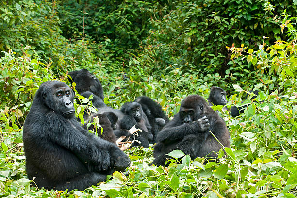 family of gorillas in the trees in the congo - gorilla stock photos and pictures