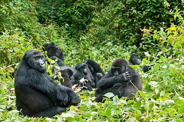 la vida familiar, eastern llanura gorilas, en congo, toma vida silvestre - gorila fotografías e imágenes de stock