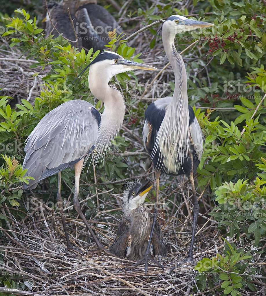 Family of Great Blue Herons at Venice Rookery stock photo