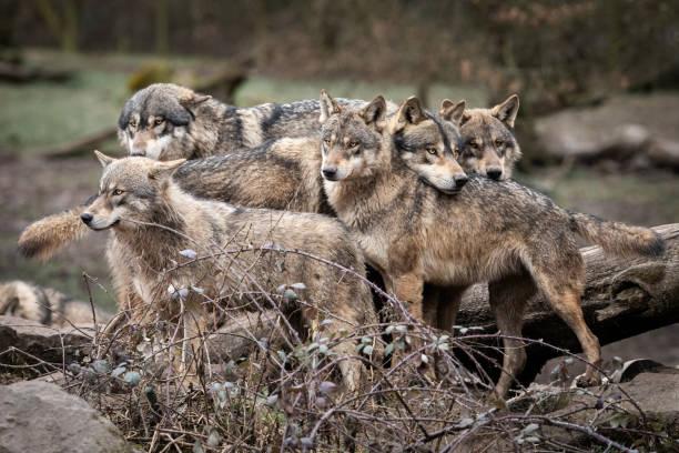 Familj av grå varg i skogen bildbanksfoto