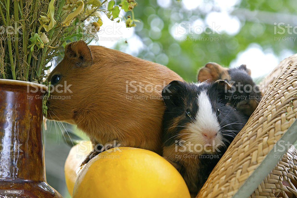 family of Guinea pig royalty-free stock photo