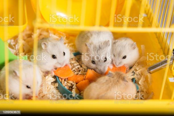 Family of hamsters gathered around a plate in a cage and eating a picture id1059563620?b=1&k=6&m=1059563620&s=612x612&h=qeswdzn9fqytr6mngd2f8yt1aa8cj0uljxucxwyk0i4=