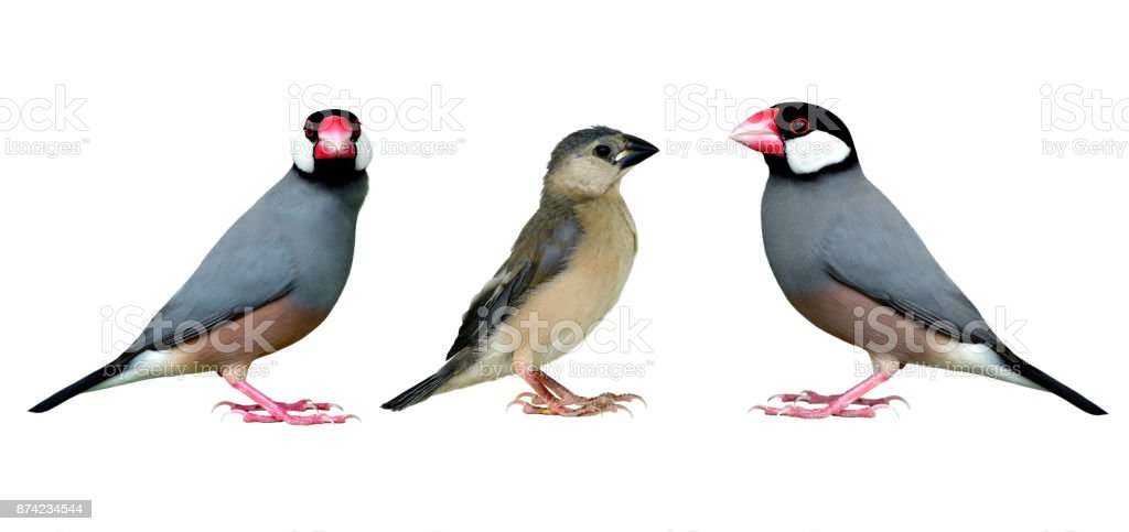 Family of Java Sparrow beautiful grey bird with black head pink bills...