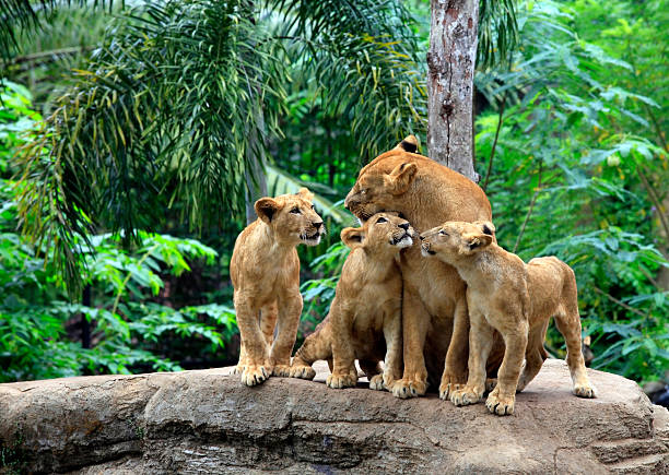 Family of lions stock photo