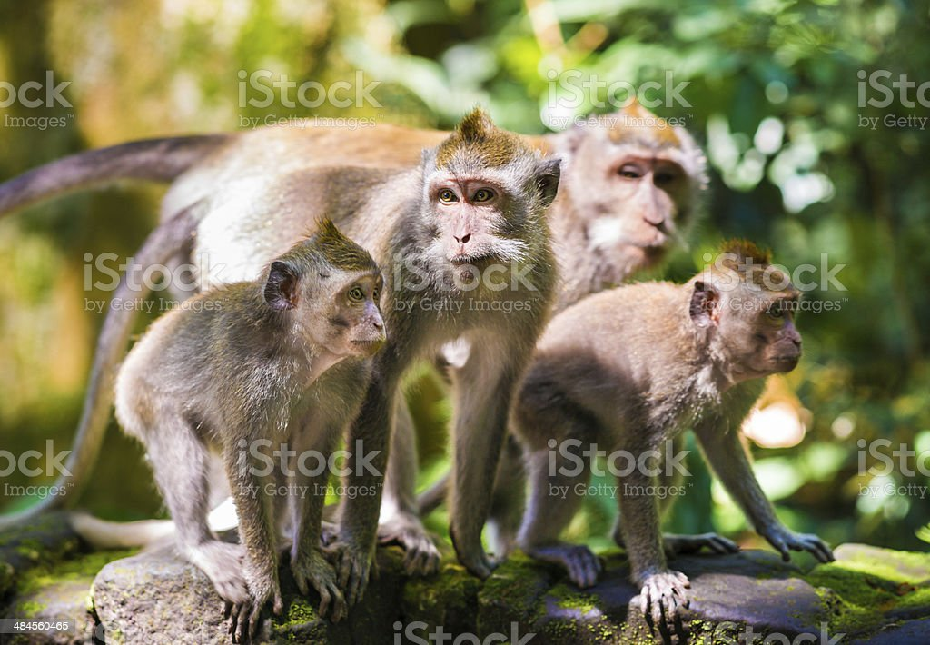 Family of Long-tailed Macaques on Bali, Indonesia stock photo