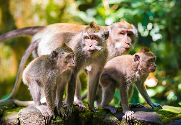 famiglia di macaques dalla coda lunga a bali, indonesia - macaco foto e immagini stock