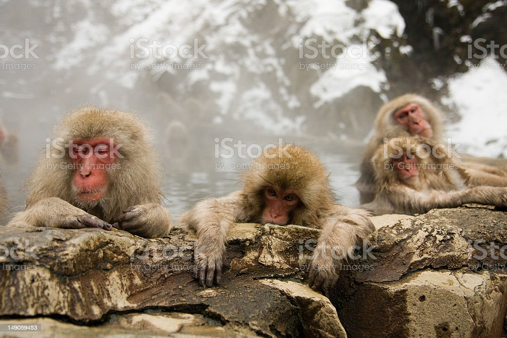 Family of macaques in an onsen (hot spring) royalty-free stock photo