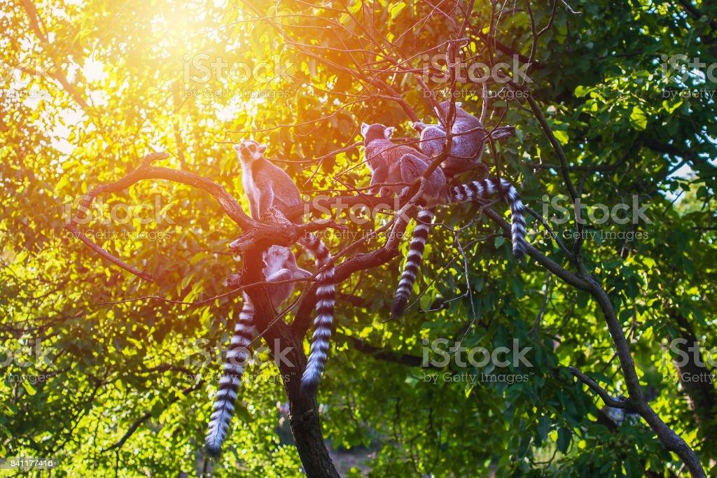Family of madagascar lemurs stock photo