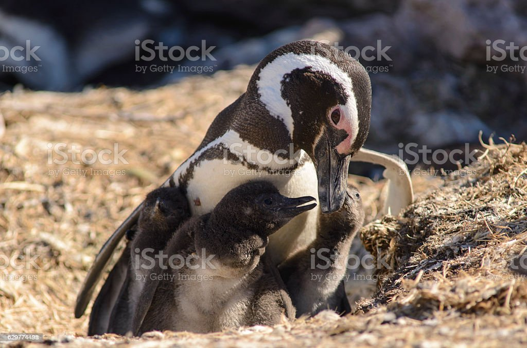 Family of Magellan Pinguins stock photo
