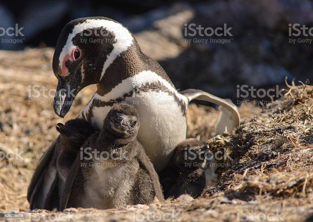 Family of Magellan Pinguins stock photo