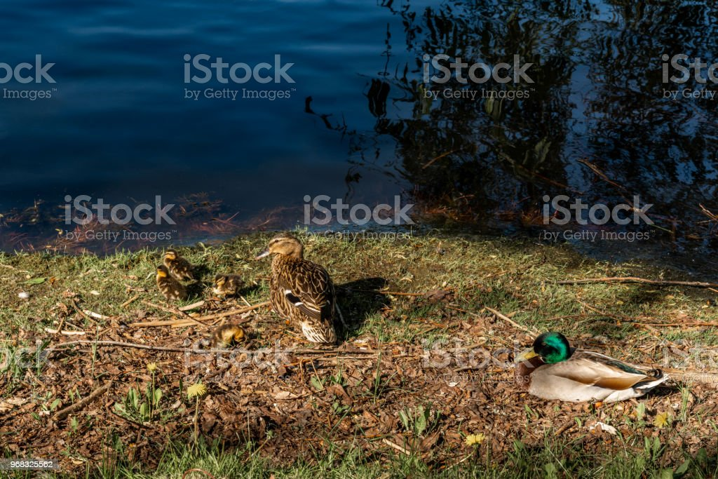 A family of mallard birds together on grass by the water. Male, female and their ducklings. stock photo