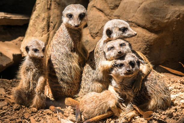 family of meerkats - meerkat stock photos and pictures