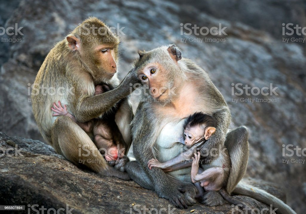 Family of monkeys. zbiór zdjęć royalty-free
