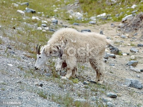 Family of Mountain Goat in Banff National Park, Alberta, Canada
