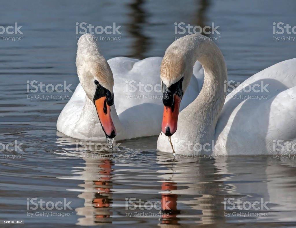 Family of Mute Swan stock photo