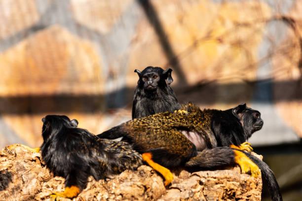 Familie des Kindes mit rothuseligen Midas Tamarin Neue Weltaffen – Foto