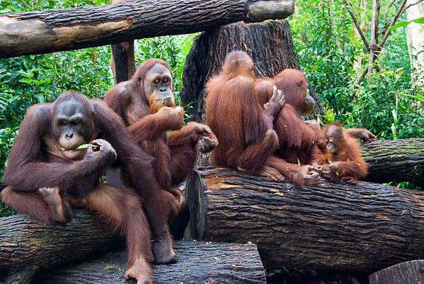 Family of Orangutans stock photo