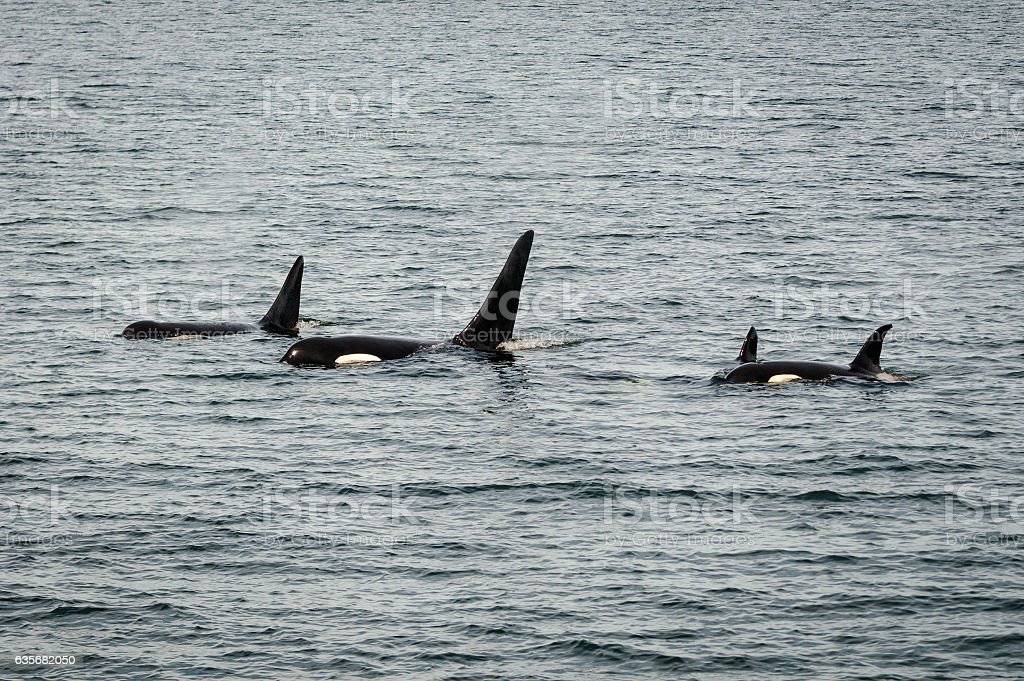 Family of Orcas in the ocean stock photo