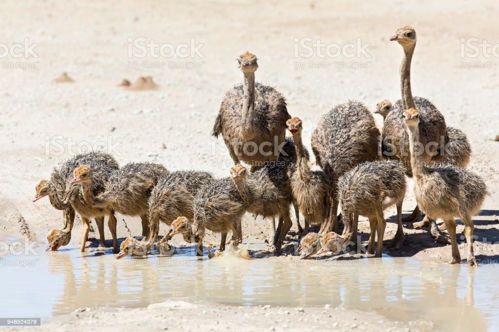 Family of ostriches drinking water from a pool in the hot sun of the Kalahari stock photo