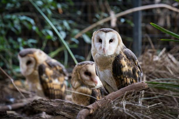 une famille de chouettes se repose pendant la journée à l'ombre de quelques arbres - cage animal nuit photos et images de collection