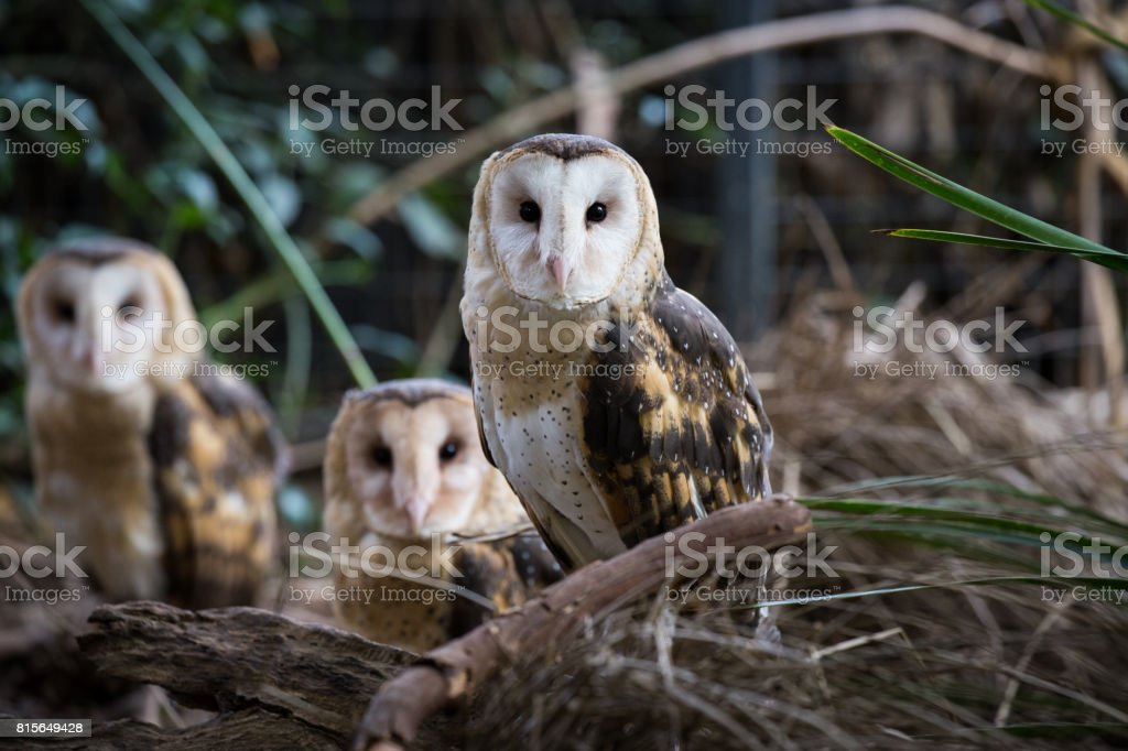 A family of owls rests during the day in the shade of some trees stock photo