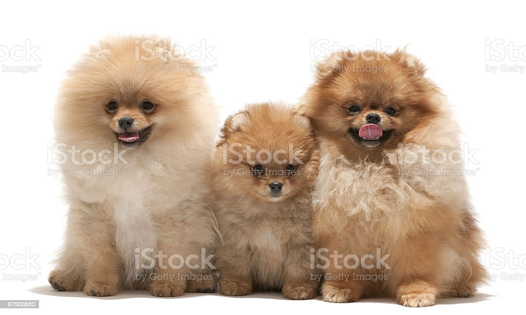 Family of pomeranian spitz royalty-free stock photo