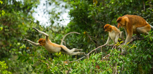 Family of proboscis monkeys sitting in a tree in the jungle. stock photo