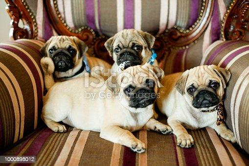 Family of pug dog