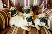 Family of pug dog