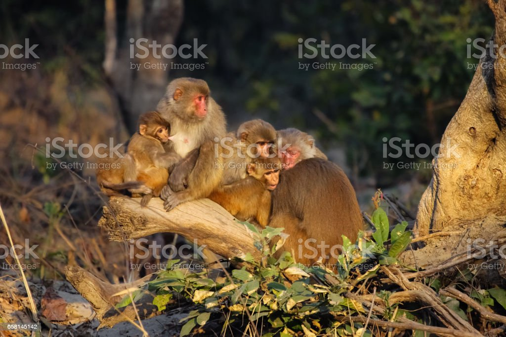 Family of Rhesus macaque crowding together in the morning cold in the forest stock photo