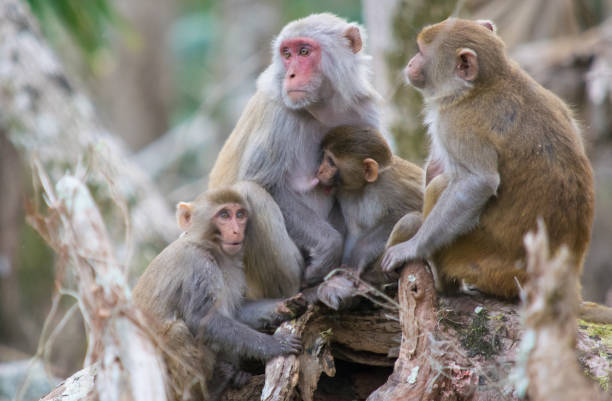 Family of Rhesus Macaque Monkeys in Silver Springs, Florida A troop of escaped wild monkeys inhabit the swamp along the Silver River in Ocala, Florida. monkey stock pictures, royalty-free photos & images