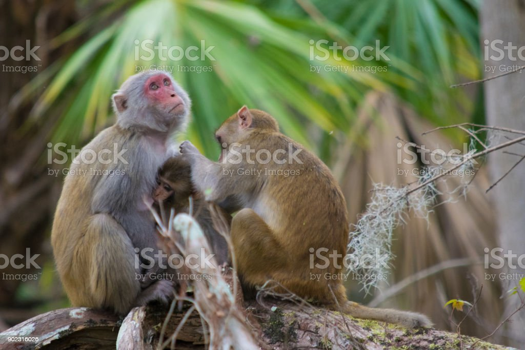 Family of Rhesus Macaque Monkeys in Silver Springs, Florida stock photo