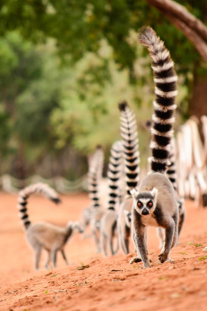familj av ringtailed lemur, lemur catta, gå på marken med deras svansar i berenty reserv madagaskar - lemur bildbanksfoton och bilder