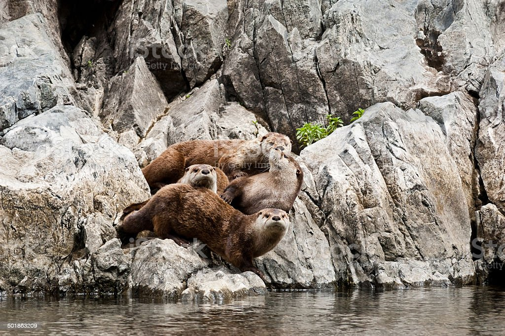 Family of River Otters by the Snake River stock photo
