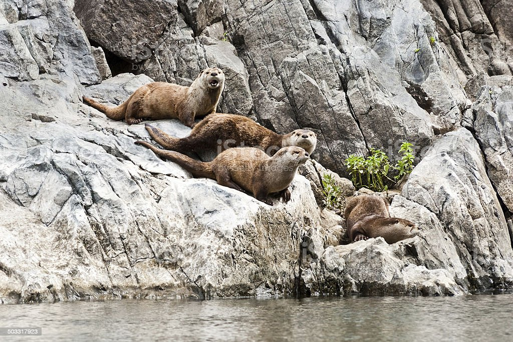 Family of River Otters by the Snake River royalty-free stock photo
