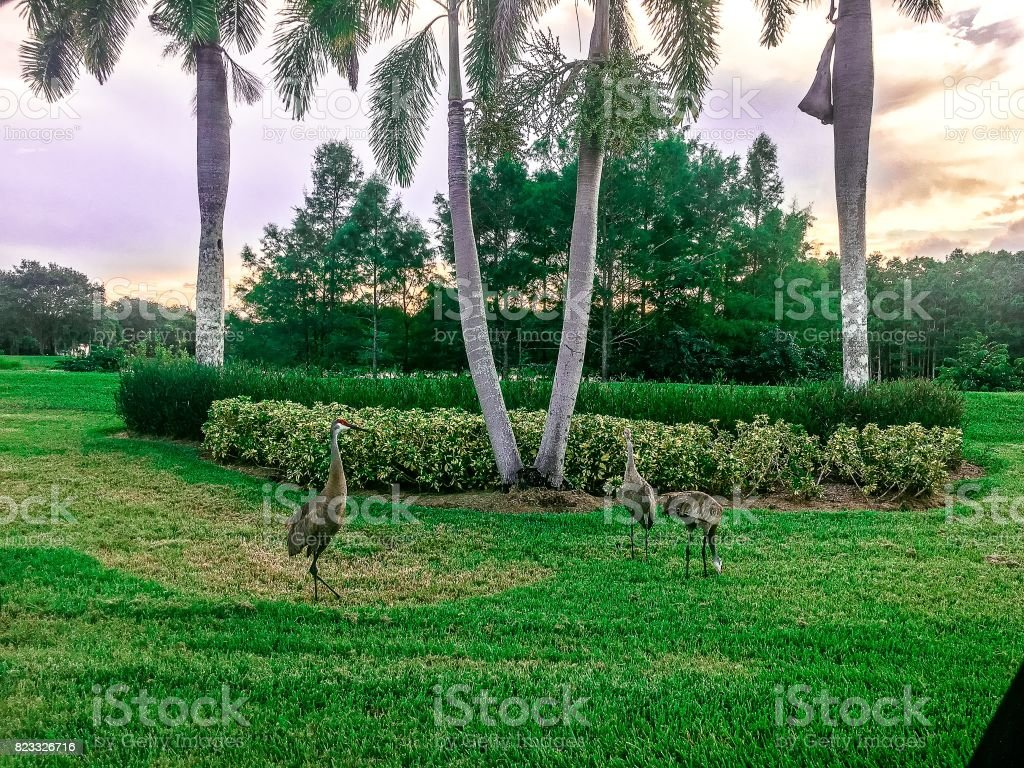 family of sandhill crane birds in south Florida marsh stock photo